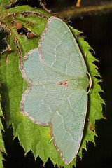 """Common Emerald Moth (hemithea aestivaria) • <a style=""""font-size:0.8em;"""" href=""""http://www.flickr.com/photos/57024565@N00/183296870/"""" target=""""_blank"""">View on Flickr</a>"""
