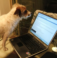 IT Manager (Catalia) Tags: dog laptop terrier jackrussell indi