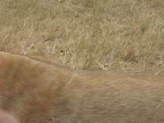 Lion Brushes Past our Car (jsgiuseppe) Tags: lions lionpark