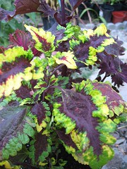 Coleus 'Splash'