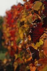 DSC_3125 (dudeonsails) Tags: vinyard wein rheinhessen weinberge gaualgesheim