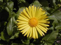 AD733 Daisy (listentoreason) Tags: plant flower nature yellow closeup score40