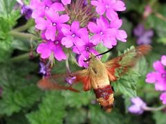 BB162 Hummingbird Moth (listentoreason) Tags: plant flower nature animal closeup geotagged purple favorites invertebrate score40