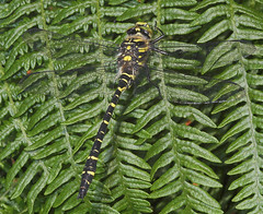 "Gold-Ringed Dragonfly (cordulegaster (1) • <a style=""font-size:0.8em;"" href=""http://www.flickr.com/photos/57024565@N00/189864654/"" target=""_blank"">View on Flickr</a>"