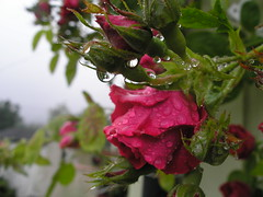 A rainy day in july (Tess_) Tags: summer nature rain norway tag3 taggedout tag2 tag1 waterdrops