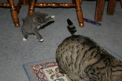 Socks going for Silver's tail 2 (SuzanneR) Tags: cats playing cat kitten feline tail kitty kittens kitties felines