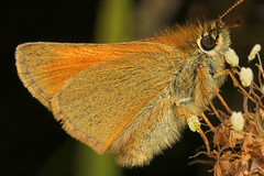 "Small Skipper Butterfly (thymelicus s(4) • <a style=""font-size:0.8em;"" href=""http://www.flickr.com/photos/57024565@N00/192579647/"" target=""_blank"">View on Flickr</a>"