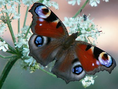 Peacock Butterfly in the morning by hape_gera at Flickr