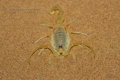 319A4443 Scorpion - Buthidae Apistobuthus pterygocercus in Sharjah desert (Priscilla van Andel - Shifting houses) Tags: scorpion buthidaeapistobuthuspterygocercus sharjahdesert buthidae arabianscorpions yellowscorpion