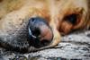 Dog's nose (graser.robert) Tags: dog nose animal golden retriever macro makro close up alive macromondays monday its