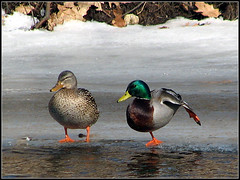 River Dance (Dave Delay) Tags: newhampshire ducks souheganriver