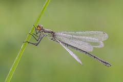 Erythromma najas (Prajzner) Tags: morning macro nature insect poland naturallight damselfly manfrotto odonata insecta sigma105mmmacro redeyeddamselfly erythrommanajas nikond7100 manfrottomt190xpro3