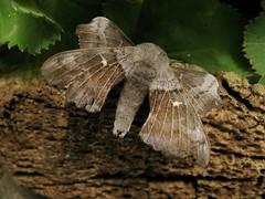 Poplar Hawk-moth..... 03.06.15 (little-acorns) Tags: garden insect wildlife moth isleofman lightbox manx ramsey invertebrate lepidoptery poplarhawkmoth laothoepopuli lighttrap