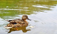 Cutie of the week (farmspeedracer) Tags: lake bird nature animal duck spring pond may