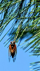 June 7 #JJAProject:  Just 1 of the bajillion swarming Periodical (17 year) Cicadas buzzing our trees all day. This beaut was midway up our 20+ year old Eastern White pine in the backyard! Our yard has never been so LOUD!!! All day long, too (LauraGilchrist4) Tags: cicada insect kansascity periodical 17yearcicadas periodicalcicada