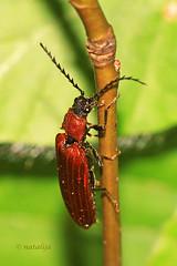 Rdeča pokalica (natalija2006) Tags: red beetle click rubens coleoptera elateridae rdeča denticollis pokalica hrošči pokalice