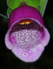 Foxglove 080615 (Richard Collier - Wildlife and Travel Photography) Tags: flowers macro closeup flora naturalhistory wildflowers foxglove onblack flowersenglishflowers