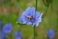 Summer (Jasmin No) Tags: blue summer nature sommer natur bee honey blau blume kornblume biene blmchen honig
