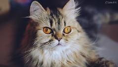 My friend (CheshireCat28) Tags: pet cat golden persian friend shaded my
