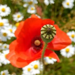 Summer! (Landanna) Tags: summer white flower nature sommer natur natuur zomer poppy blomst wit klaproos hvid bloem valmue magriet