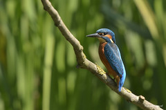 20150702_11145060__DSC2172 (Travel4Two) Tags: belgië kingfisher c1 kalmthout alcedoatthis ijsvogel s0 hut1 5000k fotohut adl1 glennvermeersch
