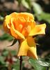 10-IMG_4305 (hemingwayfoto) Tags: rose flora pflanze gelb blume blüte stadtpark botanik blühen duftend edelrose rosengewächs kupferköngin