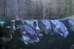 St Peter's Fish (Marked_man) Tags: life wild fish animals swimming zoo living underwater live cincinnati wildlife scales aquatic creature gills