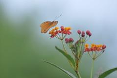 Julia Heliconian Butterfly (letthingsdevelop) Tags: julia florida wildlife butterflies habitat southflorida dryasiulia juliabutterfly juliaheliconianbutterfly butterflyhabitat