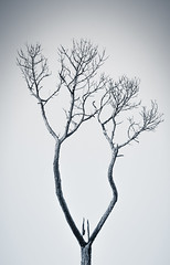 Wishbone Tree (Carolyn Marshall Photography) Tags: park trees blackandwhite tree nature landscape grey one photo florida photos branches gray parks minimal photographs split minimalism simple toned minimalistic wishbone splittone uppertampabaytrail carolynmarshall livinglifephotography
