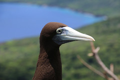 Brown Booby  Christmas Island. (Jungle Jack Images) Tags: ocean christmas cliff brown bird john pose island fly flying inflight nationalpark wings indian capital ss indianocean flight australian feathers sit takeoff flap span boobie booby territory christmasisland brownbooby margaretknoll sulaleucogasterplotus australianterritory