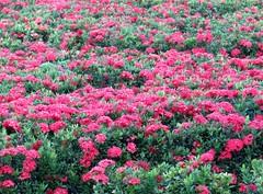 Ixora coccinea (sid xavier) Tags: brazil flower brasil canon flor powershot redflower ixora tamandar ixoracoccinea florvermelha icsria flickrbrasil praiadecarneiros sx50
