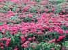 Ixora coccinea (sid xavier) Tags: brazil flower brasil canon flor powershot redflower ixora tamandaré ixoracoccinea florvermelha icsória flickrbrasil praiadecarneiros sx50