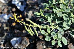 Cleome rupicola (tinlight7) Tags: wildflower orange seedpods caper plant hayl fujairah uae taxonomy:kingdom=plantae plantae taxonomy:clade=tracheophyta tracheophyta taxonomy:phylum=magnoliophyta magnoliophyta taxonomy:class=magnoliopsida magnoliopsida taxonomy:order=brassicales brassicales taxonomy:family=cleomaceae cleomaceae taxonomy:genus=cleome cleome taxonomy:species=rupicola taxonomy:binomial=cleomerupicola cleomerupicola