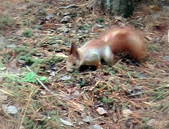 Білка, Вивірка звичайна, лісова, руда (Sciurus vulgaris) (Gansucha) Tags: mammalia sciurus muriformes rodentia sciuridae