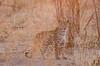 Leopard (brainstorm1984) Tags: big5 savutimarsh safari savuti savutesafarilodge savutigamereserve chobenationalpark desertdeltasafaris botswana wildlife pantheraparduspardus savute wildfelinephotography savutichannel leopard savutegamereserve pantherapardus bigfive northwestdistrict botsuana bw