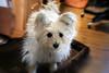 it's my Birthday HSS (Dotsy McCurly) Tags: ruffy cute dog cairnterrier happy sliders sunday hss light backlit dof adobe photoshop canoneos5dmarkiii nj