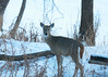 Doe_921a (sknight56) Tags: deer doe whitetail minnesota canon cold winter bloomington wildlife river snow tail trees