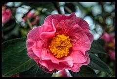 Camellia Exhibition flora Cologne (scorpion (13)) Tags: greenhouse camellia exhibition flora cologne flower blossom frame creative nature photoart color winter bush
