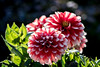 dahlia (Bea Antoni) Tags: sommer summer sun sonne gegenlicht licht backlight light bokeh natur nature pflanzen pflanze plants plant flowers flower blumen blume dahlie dahlia