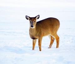 I'm quite fawn'd of you, my deer (katerha) Tags: deer whitetail deerinwinter myfrontyard