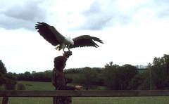 Fish eagle display (SteveInLeighton's Photos) Tags: transparency england gloucestershire agfachrome 1981 may newent falconry eagle jemimaparryjones