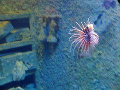 040 (Aarb) Tags: lionfish lion fish x30 taiwan travel fun red