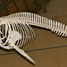 Mounted Skeleton of Indo-Pacific Bottlenose Dolphin (Tursiops aduncus)