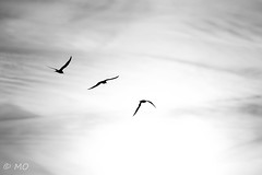 Silhouettes (mathieuo1) Tags: ilederé lileaudesniges sunrise silhouettes nikon teleobjectives seagull dark shadow contrast blackandwhite black sky lines symmetry expression d5 france seashore europe island nature macro bird fly up wild wildlife freedom free mathieuo travel clouds dlsr beauty