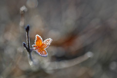 """Frosted Flakes"" Haiku (MontanaRoots (aka Craig)) Tags: haiku fall golden leaves frost winter bokeh canon macro 100mm cold foilage leaf frozen autumn brilliant wow"
