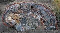 Petrified Wood / Petrified Forest National Park (Ron Wolf) Tags: chinleformation earthscience geology mesozoic nationalpark paleontology petrifiedforestnationalpark triassic crosssection fossil log mineral nature petrifiedwood arizona