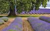 Bridestowe Lavender Farm - Tasmania - Australia (glendamaree) Tags: nature tasmania australia lavender farm bridestowelavenderfarm oaktree nikon d750 purple