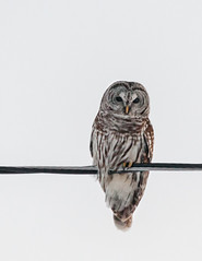birds fauna harpswell maine owl barred hootowl eighthooter rainowl woodowl stripedowl birdofprey