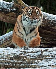 sumatran tiger Burgerszoo JN6A1105 (j.a.kok) Tags: tijger tiger sumatraansetijger sumatrantiger pantheratigrissumatrae cat kat predator sumatra asia azie mammal zoogdier
