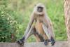 DSC_2959PS (DouxVide) Tags: india honeymoon monkey female